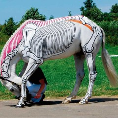 Horses Inside Out – The Anatomy of Muscles