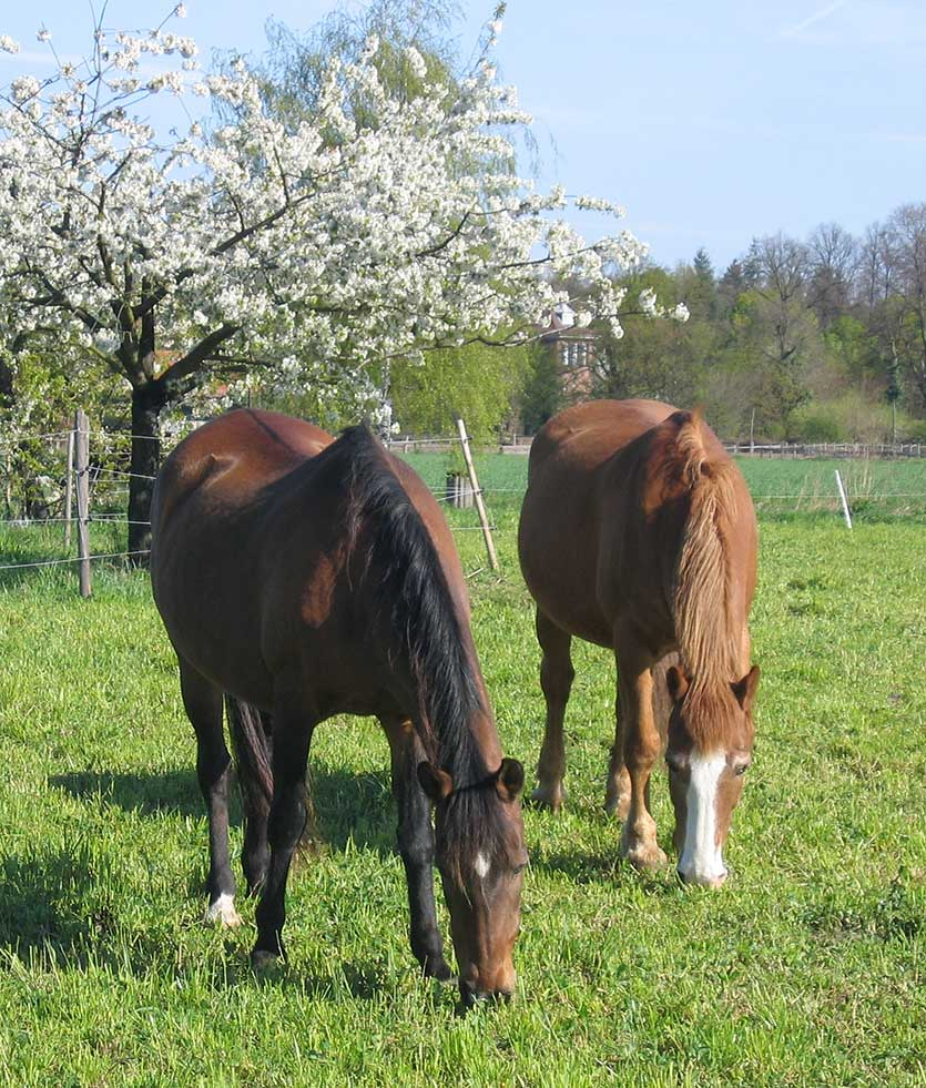 Pick up manure on a daily basis, to keep grazing as clean and worm free as possible.