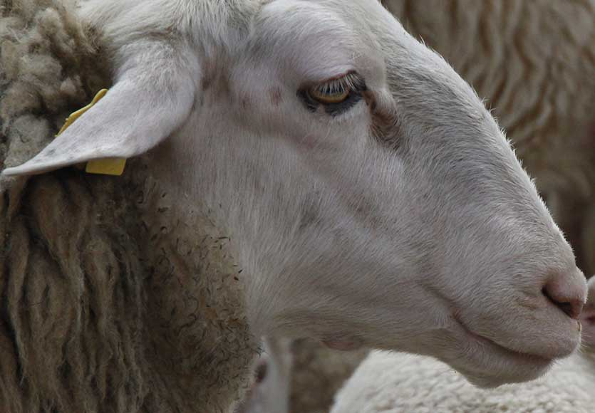 Dolly-the-sheep-was-the-first-cloned-animal-CROP